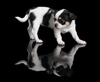 Puppy of Chihuahua on black background Stock Photography