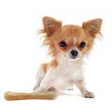 Puppy chihuahua and bone Stock Photo