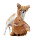 Puppy chihuahua and bunny Royalty Free Stock Photography
