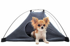Puppy chihuahua in camp tent Royalty Free Stock Image