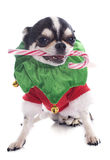 Puppy chihuahua and candy Royalty Free Stock Images