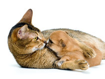 Puppy chihuahua with a cat Royalty Free Stock Photo