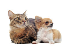 Puppy chihuahua and cat Stock Photos