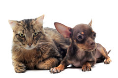 Puppy chihuahua and cat Royalty Free Stock Images