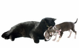 Puppy chihuahua and cat Royalty Free Stock Image
