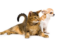 The puppy chihuahua and cat in studio Stock Photos