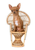 Puppy chihuahua on chair Stock Images