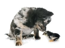 Puppy chihuahua and chick Royalty Free Stock Image