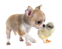 Puppy chihuahua and chick Stock Image