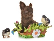Puppy chihuahua and chicks Royalty Free Stock Photos