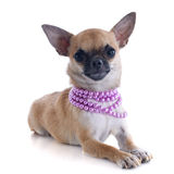 Puppy chihuahua and collar Stock Photo