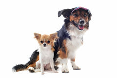 Puppy chihuahua and corgi Royalty Free Stock Photos