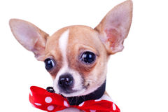 Puppy Chihuahua crying Royalty Free Stock Photo