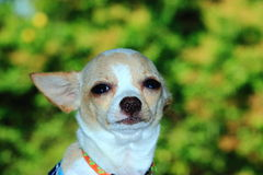 Puppy, Chihuahua cute. royalty free stock photos