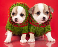 Puppy chihuahua dressed in red background Royalty Free Stock Photo