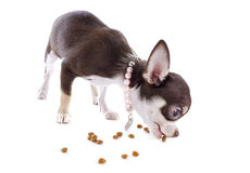 Puppy chihuahua eating Stock Photography