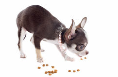 Puppy chihuahua eating Stock Photos