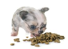 Puppy chihuahua eating Royalty Free Stock Image