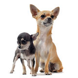 Puppy chihuahua and female Stock Photography