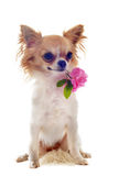 Puppy chihuahua and flower Royalty Free Stock Photo
