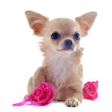 Puppy chihuahua and flower Royalty Free Stock Image