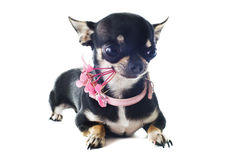 Puppy chihuahua and flower Stock Images