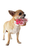 Puppy chihuahua and flower Royalty Free Stock Photos