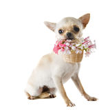 Puppy chihuahua and flowers Stock Image