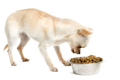 Puppy chihuahua and food bowl Stock Image
