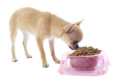 Puppy chihuahua and food bowl Royalty Free Stock Photo