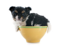 Puppy chihuahua Stock Image