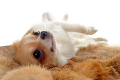 Puppy chihuahua on a fur Stock Photos