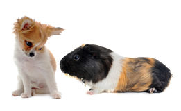 Puppy chihuahua and Guinea pig. Portrait of a puppy chihuahua and guinea pig in front of white background Stock Photography