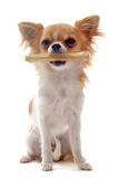 Puppy chihuahua and his bone Stock Image