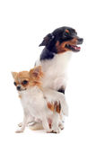 Puppy chihuahua and jack russel terrier Royalty Free Stock Image