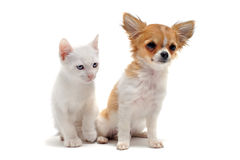 Puppy chihuahua and kitten Stock Photos