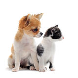 Puppy chihuahua and kitten Royalty Free Stock Images