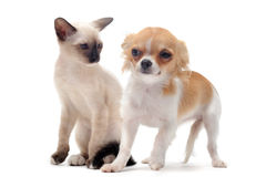 Puppy chihuahua and kitten Stock Images