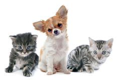 Puppy chihuahua and kitten Stock Photography