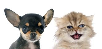 Puppy chihuahua and kitten. Portrait of a cute purebred puppy chihuahua and persian kitten in front of white background royalty free stock photos