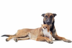 Puppy chihuahua and malinois. Portrait of a cute purebred  puppy chihuahua and malinois in front of white background Royalty Free Stock Photo