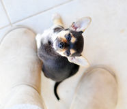 Puppy. Chihuahua mix puppy looking into the camera Stock Photos