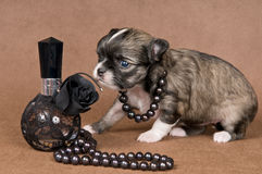 Puppy chihuahua with a necklace Stock Photography