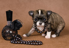 Puppy chihuahua with a necklace Royalty Free Stock Photos