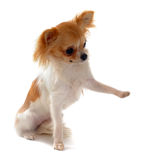Puppy chihuahua and paw royalty free stock images