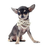 Puppy chihuahua with pearl collar Royalty Free Stock Photo