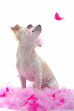 Puppy chihuahua with pink feather Stock Photo