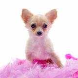 Puppy chihuahua with pink feather Stock Photography
