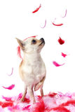Puppy chihuahua with pink feather Royalty Free Stock Photos