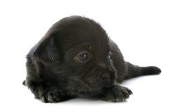 Puppy chihuahua Stock Photo